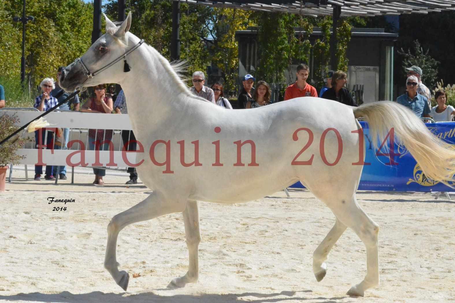Concours National de Nîmes de chevaux ARABES 2014 - ENVY ETERNITY - 09