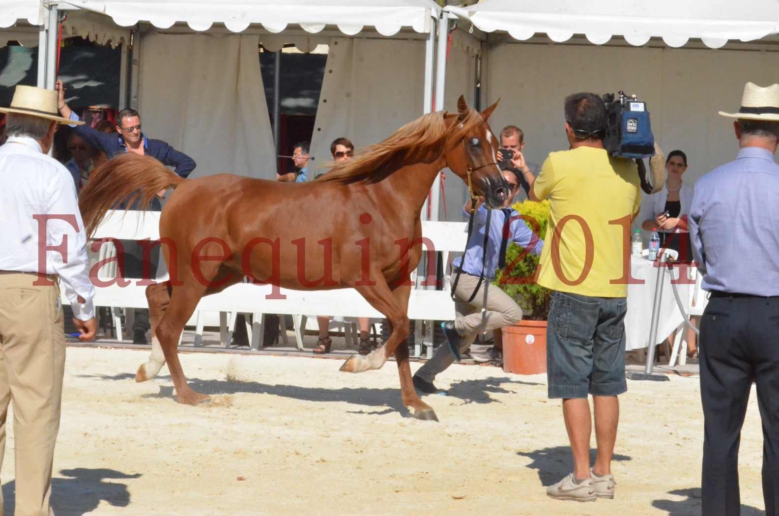 Concours National de Nîmes de chevaux ARABES 2014 - Championnat - MASSAI DE BARREL - 58