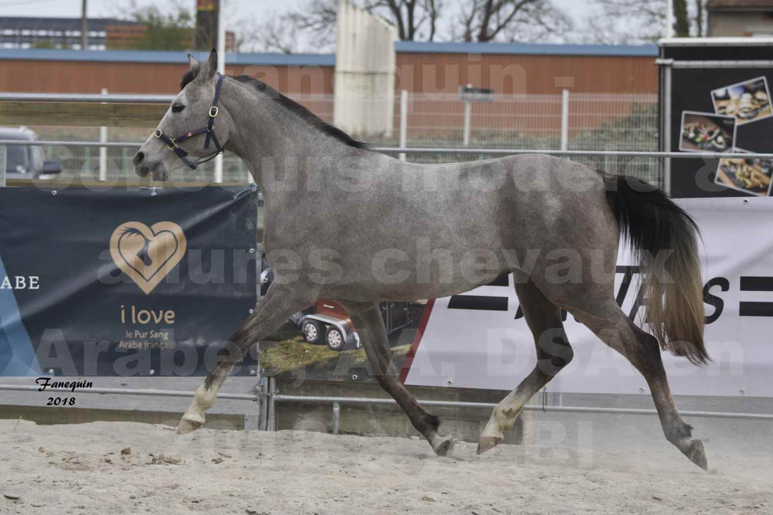 Concours d'élevage de Chevaux Arabes - D. S. A. - A. A. - ALBI les 6 & 7 Avril 2018 - FESIHAMKA ARTAGNAN - Notre Sélection - 6