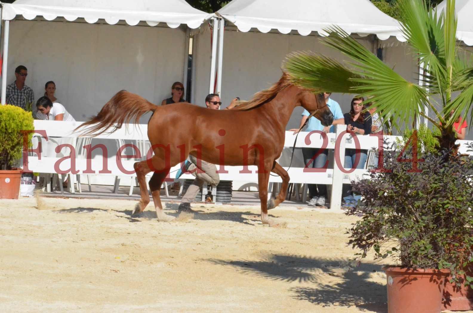 Concours National de Nîmes de chevaux ARABES 2014 - Championnat - MASSAI DE BARREL - 55