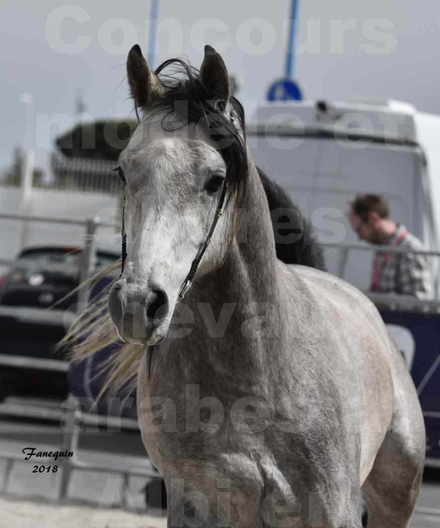Concours d'élevage de Chevaux Arabes - Demi Sang Arabes - Anglo Arabes - ALBI les 6 & 7 Avril 2018 - FLORAC LARZAC - Notre Sélection - Portraits - 5