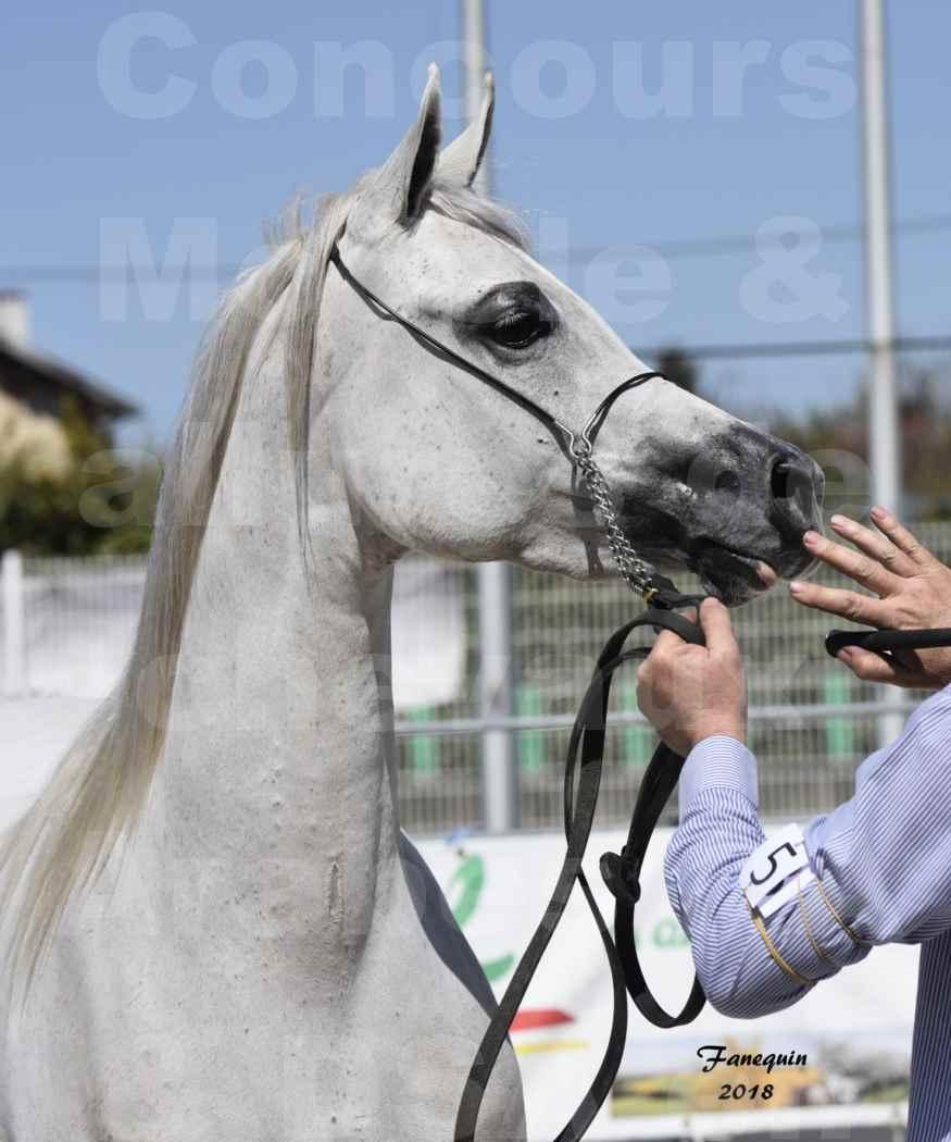 Concours d'élevage de Chevaux Arabes - Demi Sang Arabes - Anglo Arabes - ALBI les 6 & 7 Avril 2018 - FEDORA DE LAFON - Notre Sélection - Portrait