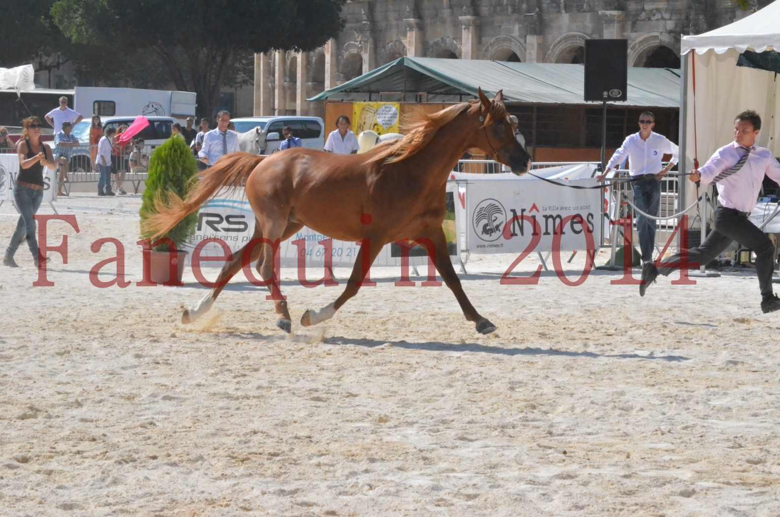 Concours National de Nîmes de chevaux ARABES 2014 - Championnat - MASSAI DE BARREL - 09