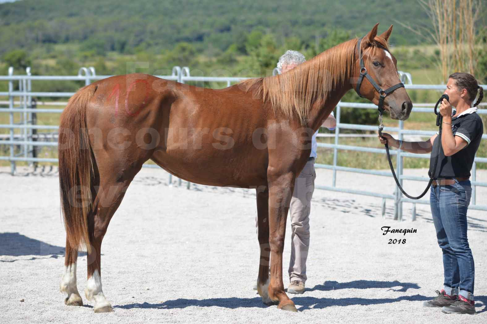 Concours d'Elevage de chevaux Arabes  le 27 juin 2018 à la BOISSIERE - FINLEY DES DOLINES - 01