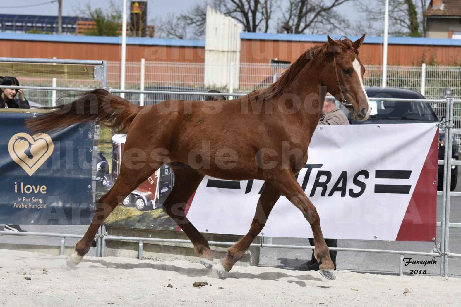 Concours d'élevage de Chevaux Arabes - D. S. A. - A. A. - ALBI les 6 & 7 Avril 2018 - FLEURON CONDO - Notre Sélection - 1
