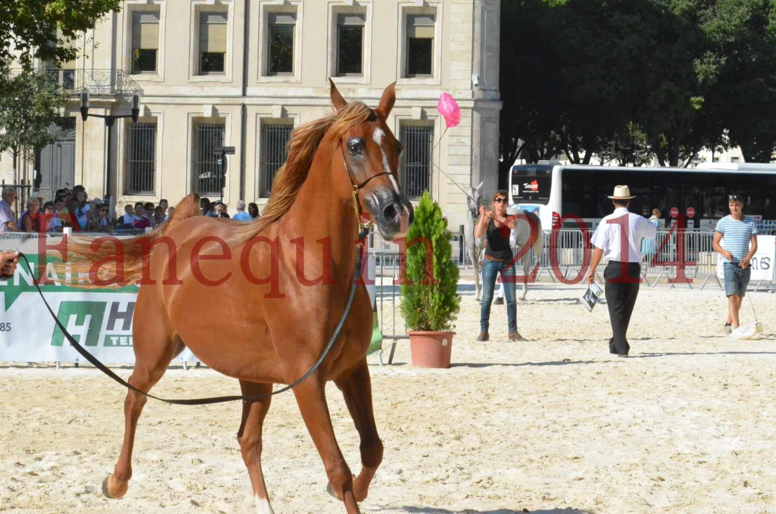 Concours National de Nîmes de chevaux ARABES 2014 - Championnat - MASSAI DE BARREL - 69