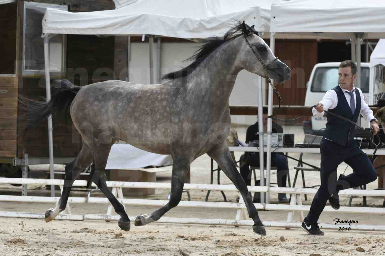 Show national de chevaux arabe à CHAZEY sur AIN en 2016 - ABHA YALI - 2