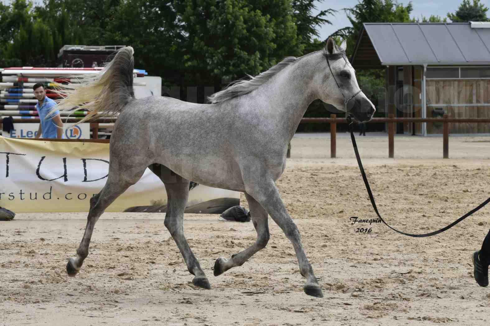 Show national de chevaux arabe à CHAZEY sur AIN - ANWAR ISHANE - 1