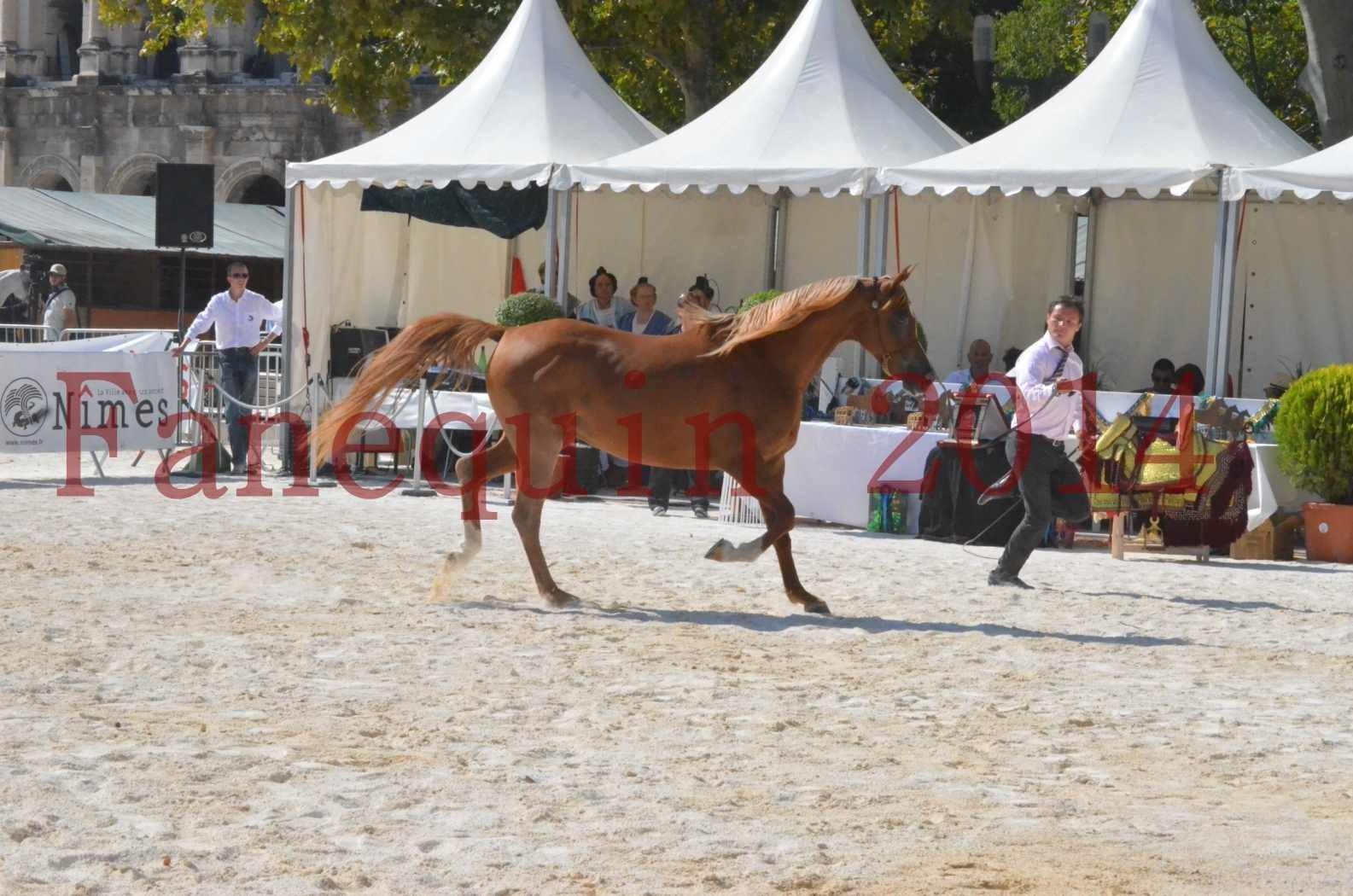 Concours National de Nîmes de chevaux ARABES 2014 - Championnat - MASSAI DE BARREL - 13