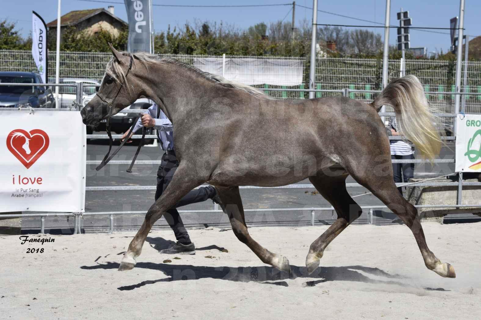 Concours d'élevage de Chevaux Arabes - Demi Sang Arabes - Anglo Arabes - ALBI les 6 & 7 Avril 2018 - DAENERYS DE LAFON - Notre Sélection - 02