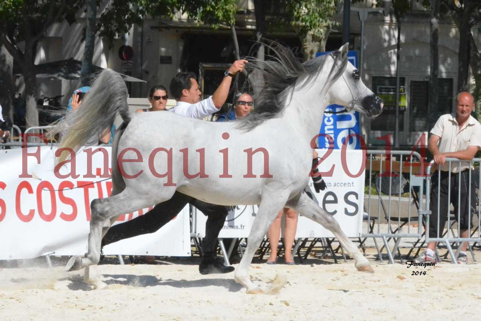 Concours National de Nîmes de chevaux ARABES 2014 - Notre Sélection - SHAOLIN DE NEDJAIA - 16