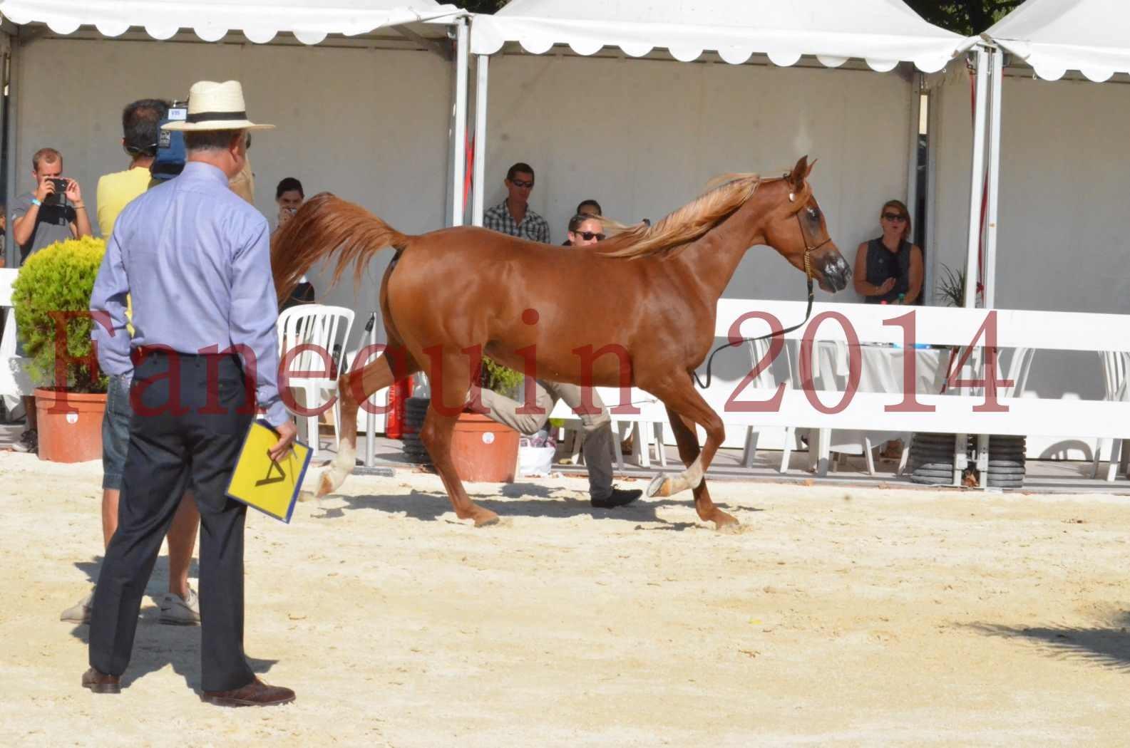 Concours National de Nîmes de chevaux ARABES 2014 - Championnat - MASSAI DE BARREL - 54