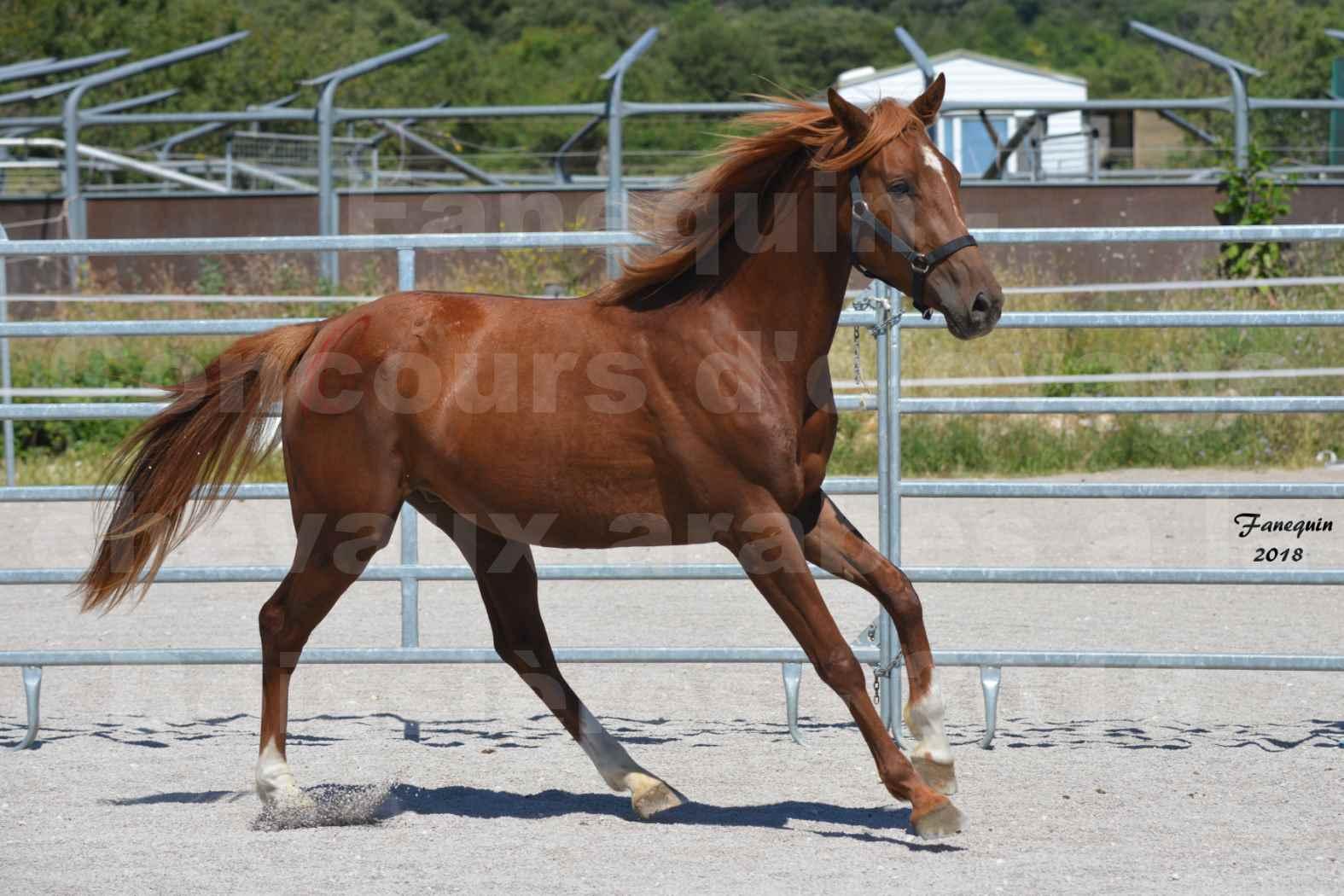 Concours d'Elevage de chevaux Arabes  le 27 juin 2018 à la BOISSIERE - FINLEY DES DOLINES - 06