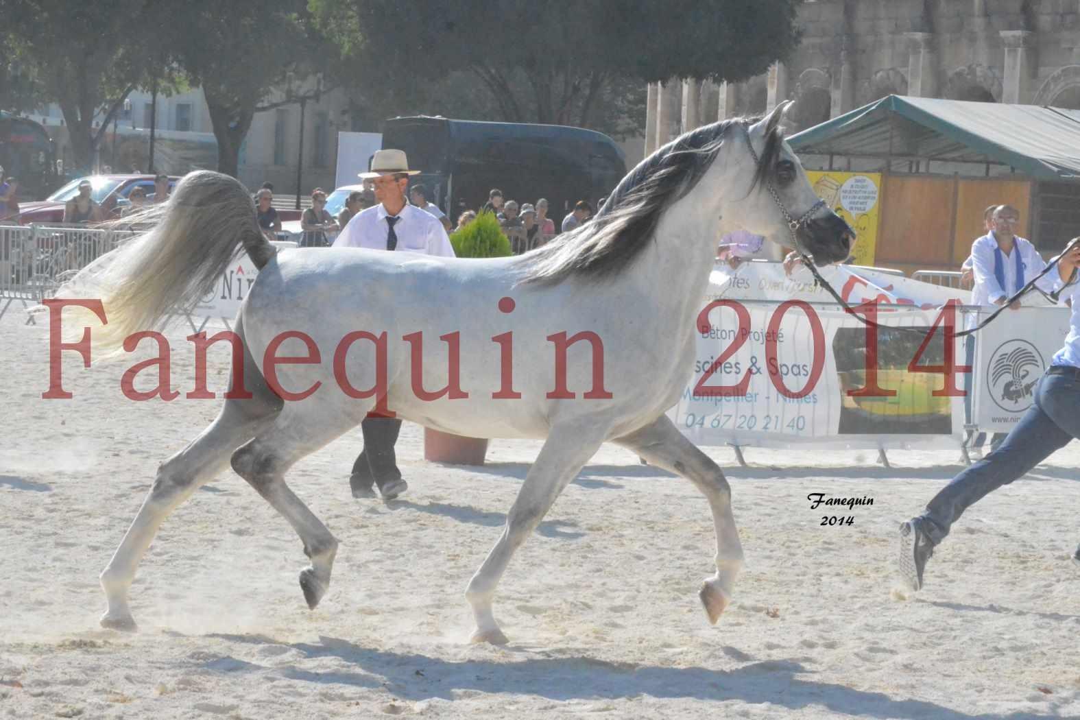 Concours National de Nîmes de chevaux ARABES 2014 - Notre Sélection - SHAOLIN DE NEDJAIA - 23