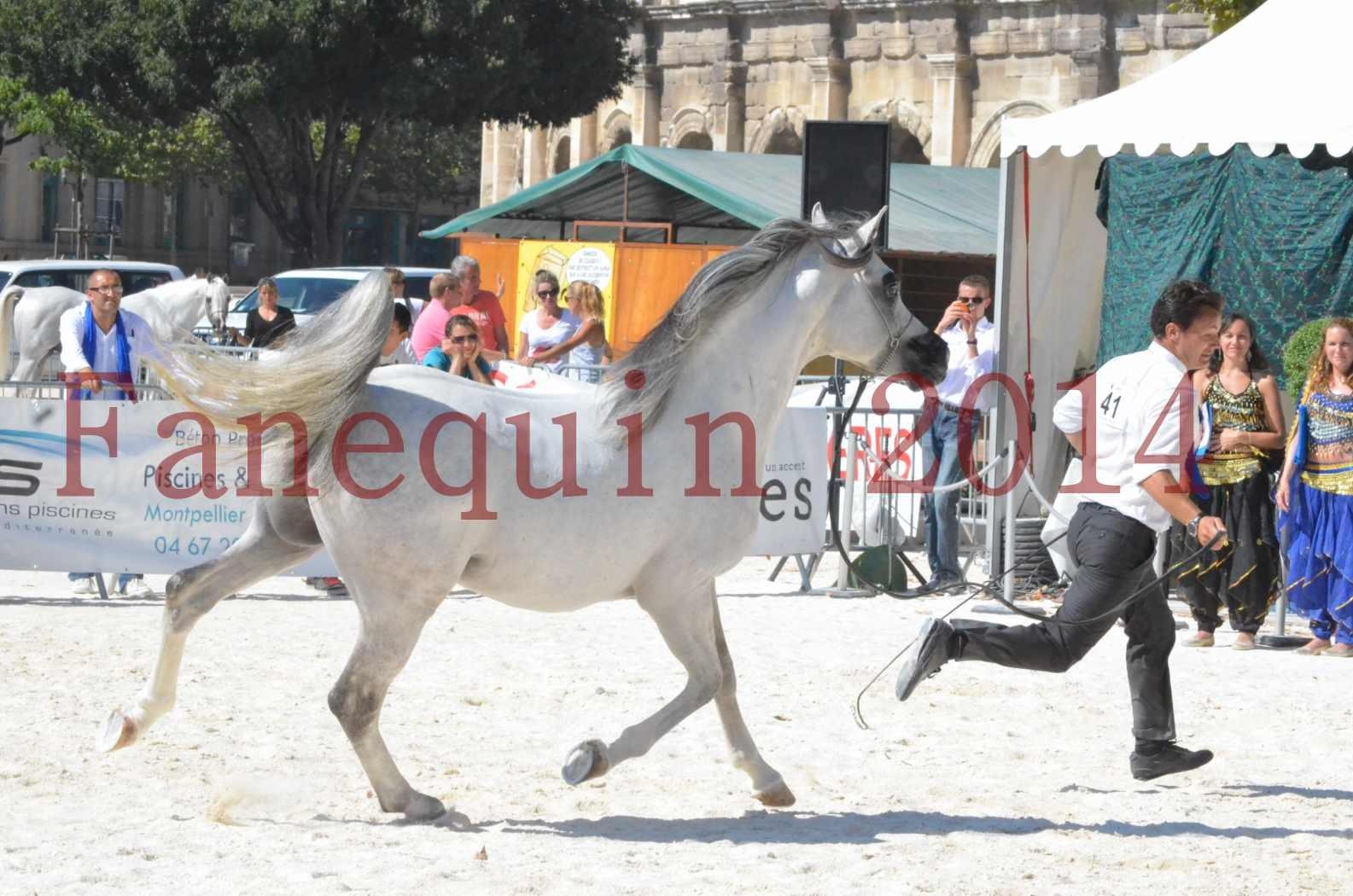 Concours National de Nîmes de chevaux ARABES 2014 - Sélection - SHAOLIN DE NEDJAIA - 60