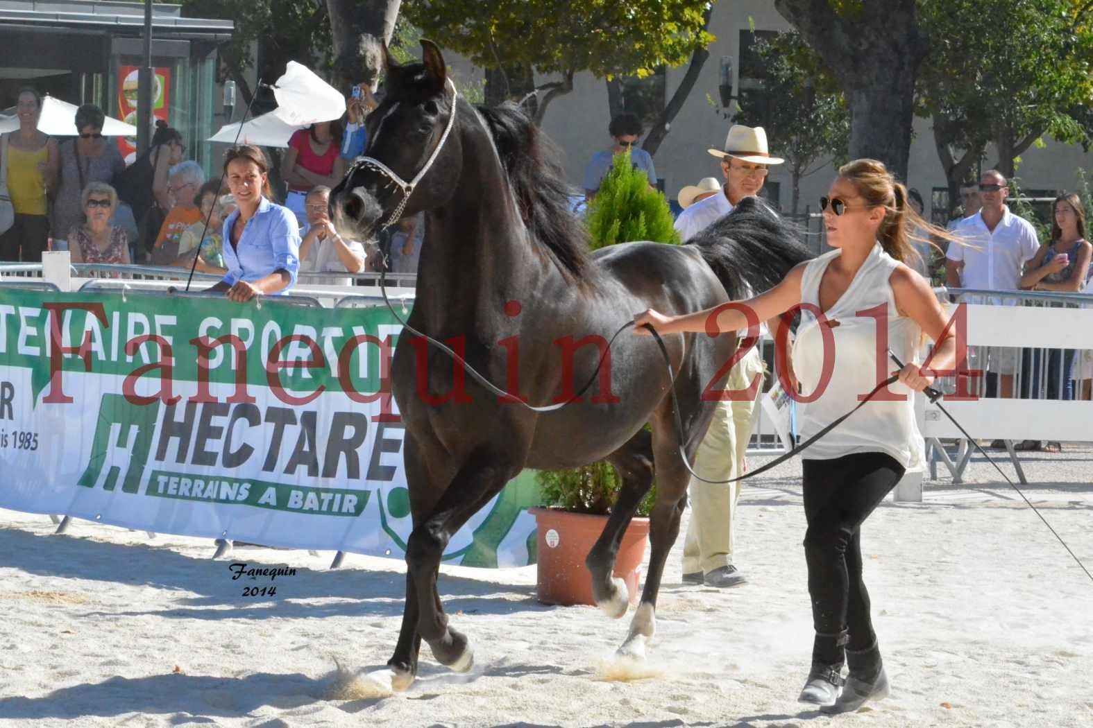 Concours National de Nîmes de chevaux ARABES 2014 - Notre Sélection - BALTYK DE CHAUMONT - 2