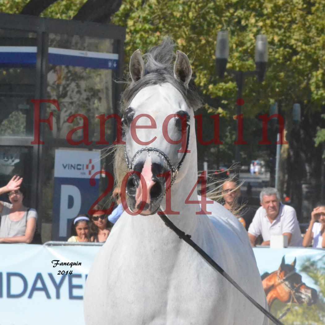 Concours National de Nîmes de chevaux ARABES 2014 - Notre Sélection - Portraits - SHAOLIN DE NEDJAIA - 14