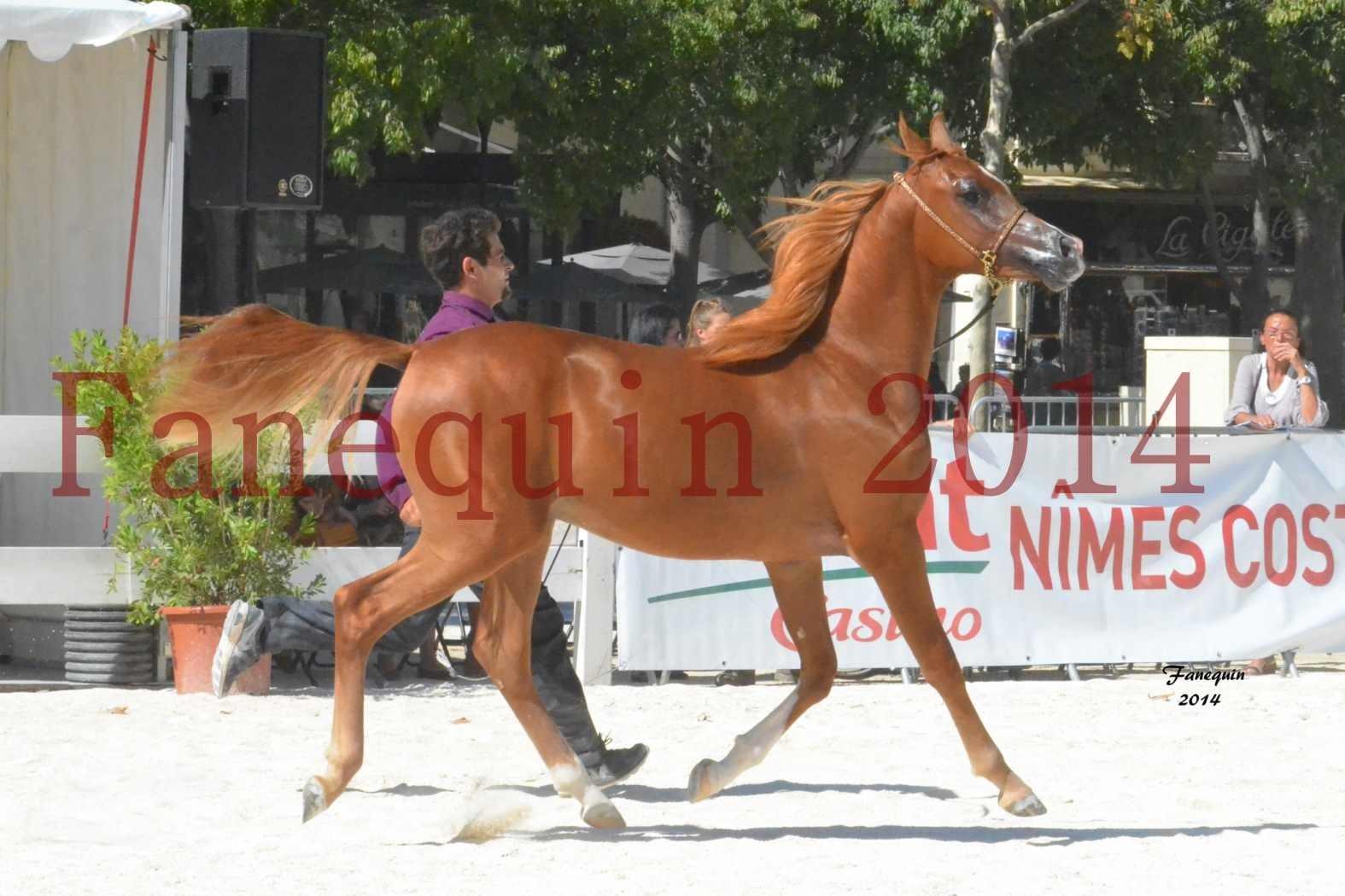 Concours National de Nîmes de chevaux ARABES 2014 - Notre Sélection - TSAR NERIO - 10