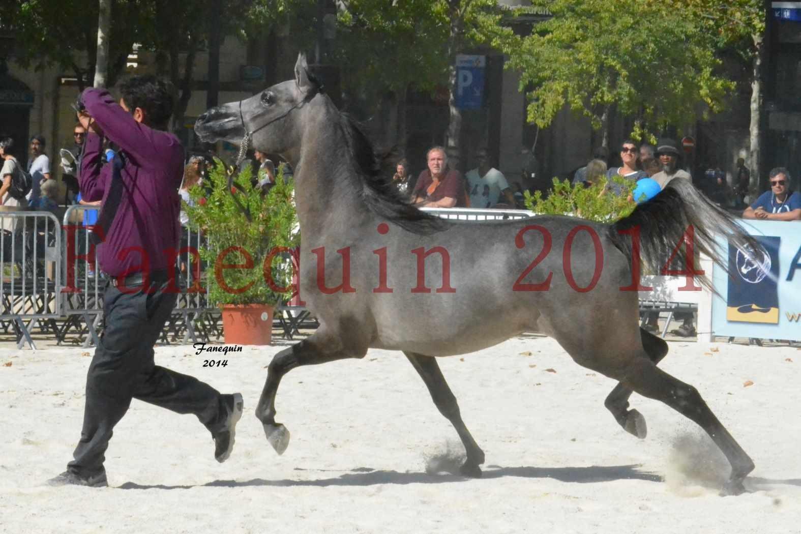 Concours National de Nîmes de chevaux ARABES 2014 - Notre Sélection - JOSEPH'S BOUZIOLS - 18