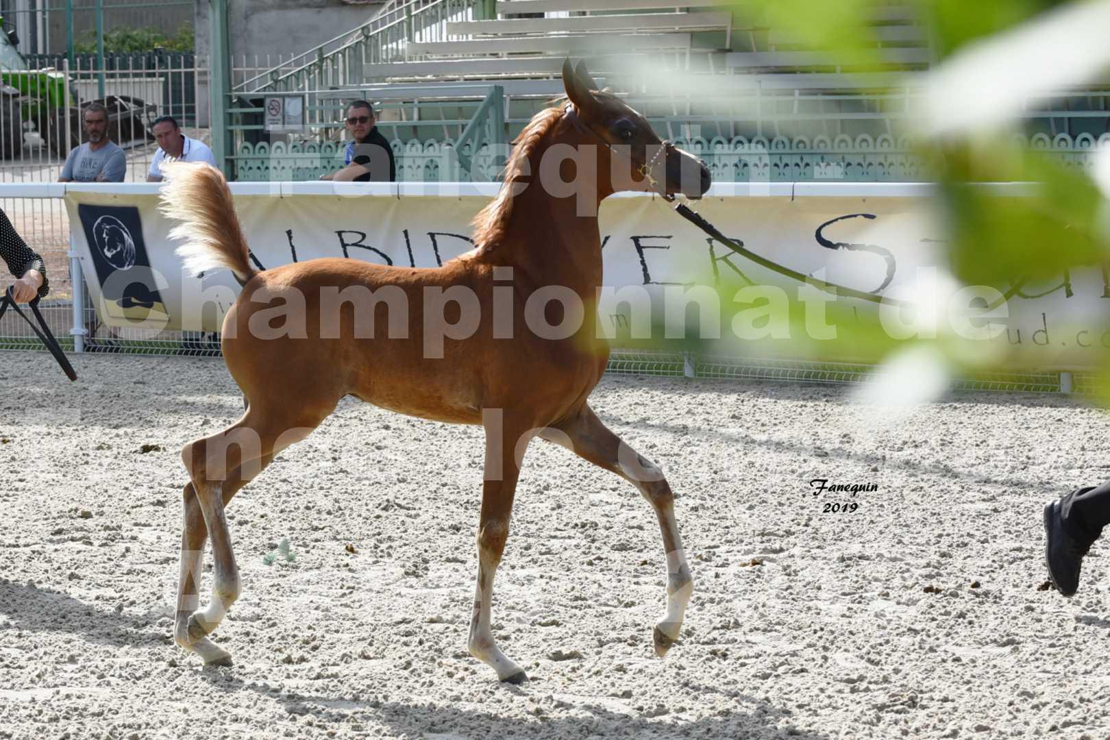 Championnat de France des chevaux Arabes en 2019 à VICHY - SH CYRENE - 4
