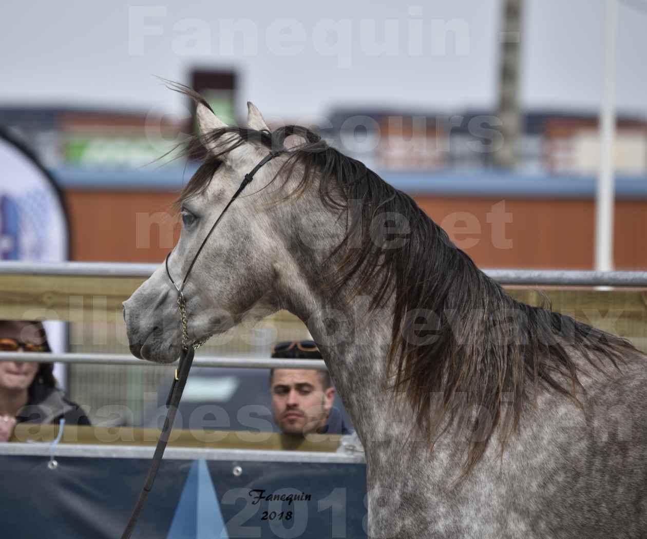 Concours d'élevage de Chevaux Arabes - Demi Sang Arabes - Anglo Arabes - ALBI les 6 & 7 Avril 2018 - PERCEVAL DE LAFON - Notre Sélection - Portraits - 01