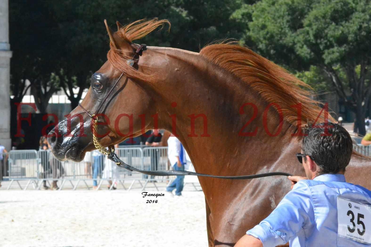 Concours National de Nîmes de chevaux ARABES 2014 - Notre Sélection - Portraits - AINHOA LE BASQUE - 2