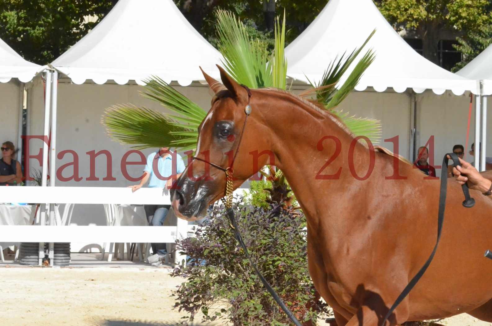Concours National de Nîmes de chevaux ARABES 2014 - Championnat - MASSAI DE BARREL - 62