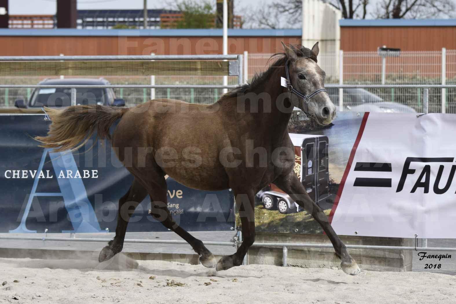 Concours d'élevage de Chevaux Arabes - Demi Sang Arabes - Anglo Arabes - ALBI les 6 & 7 Avril 2018 - FARAH DU CARRELIE - Notre Sélection - 11