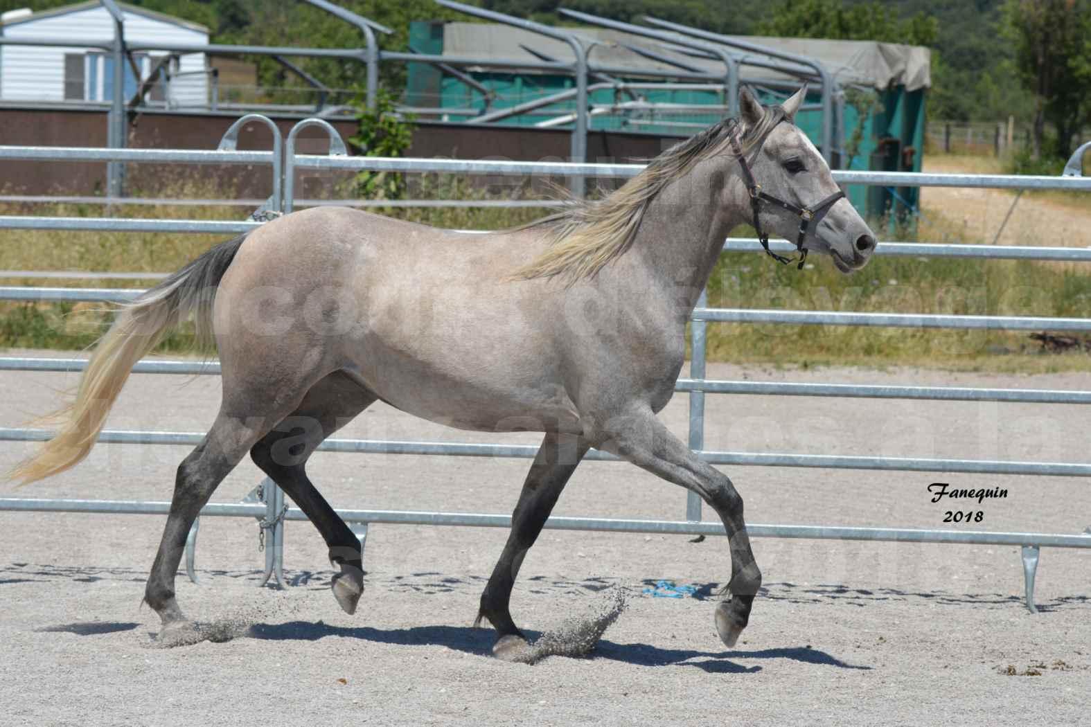 Concours d'Elevage de chevaux Arabes  le 27 juin 2018 à la BOISSIERE - GAZAK D'AURIERES - 08