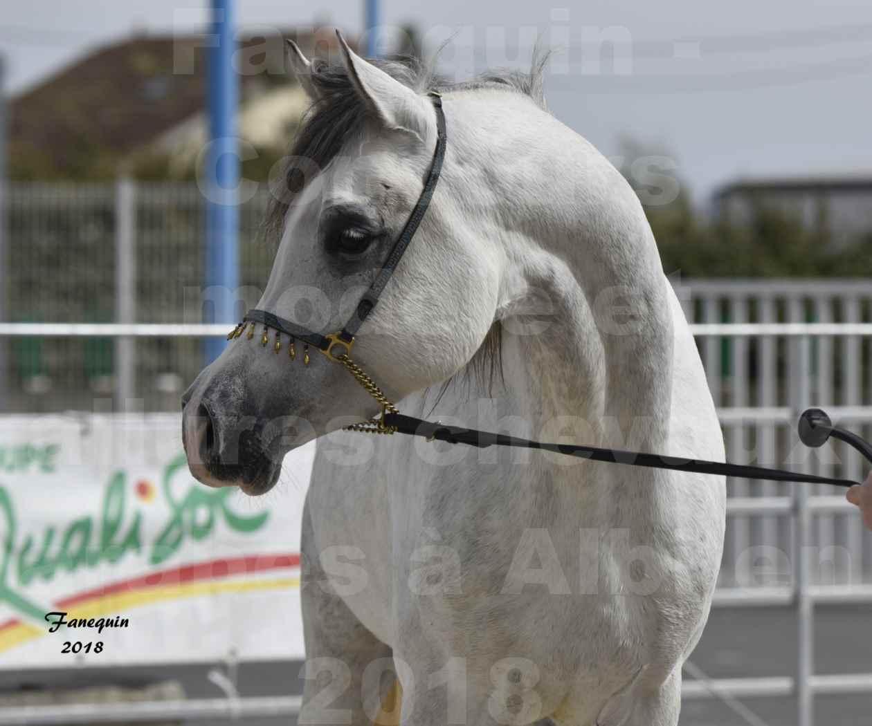 Concours d'élevage de Chevaux Arabes - D. S. A. - A . A - ALBI les 6 & 7 Avril 2018 - FADI ALBIDAYER - Portraits - 04