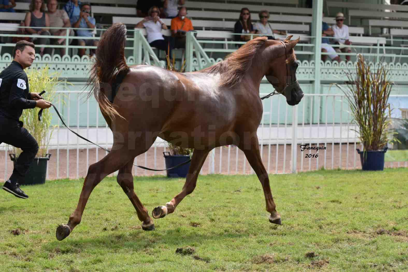 International Arabian Horse Show B de VICHY 2016 - PEARL DE DJOON - Notre Sélection - 36