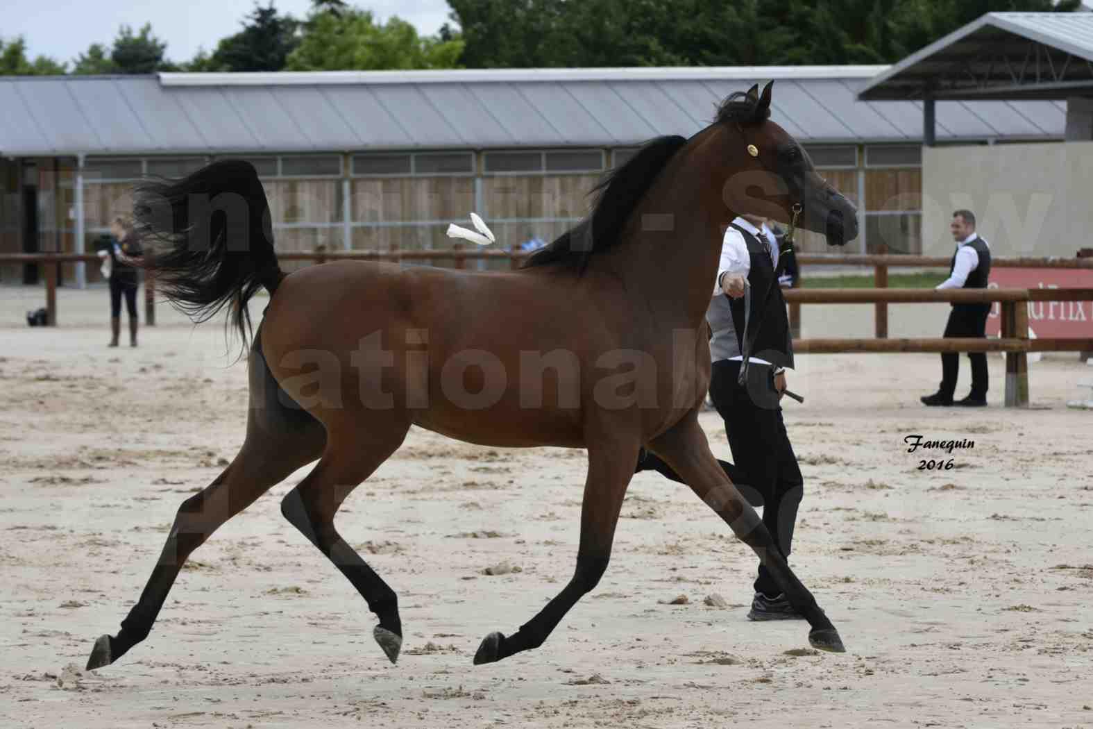 Show national de chevaux arabes de CHAZEY sur AIN - AZIZA DOMITIA - 2