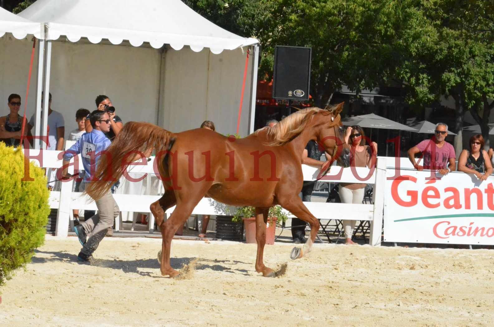 Concours National de Nîmes de chevaux ARABES 2014 - Championnat - MASSAI DE BARREL - 60
