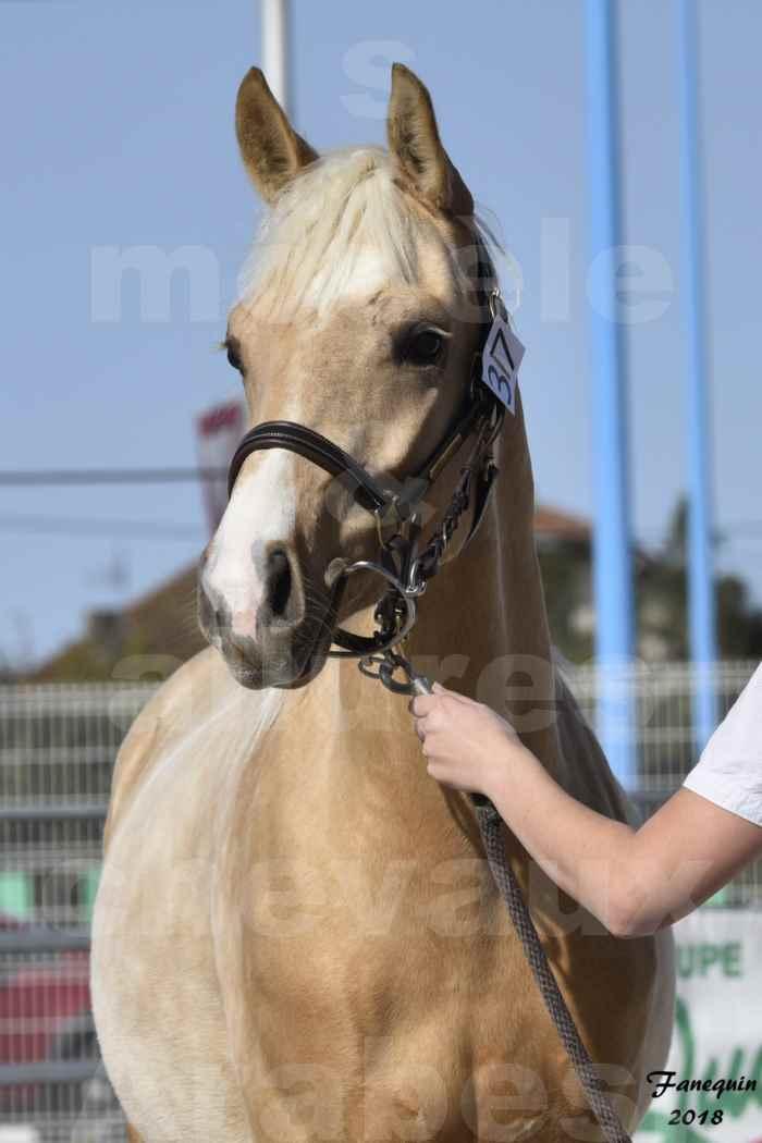 Concours d'élevage de Chevaux Arabes - D. S. A. - A. A. - ALBI les 6 & 7 Avril 2018 - GOLD DE DARRE - Notre Sélection - Portraits - 1