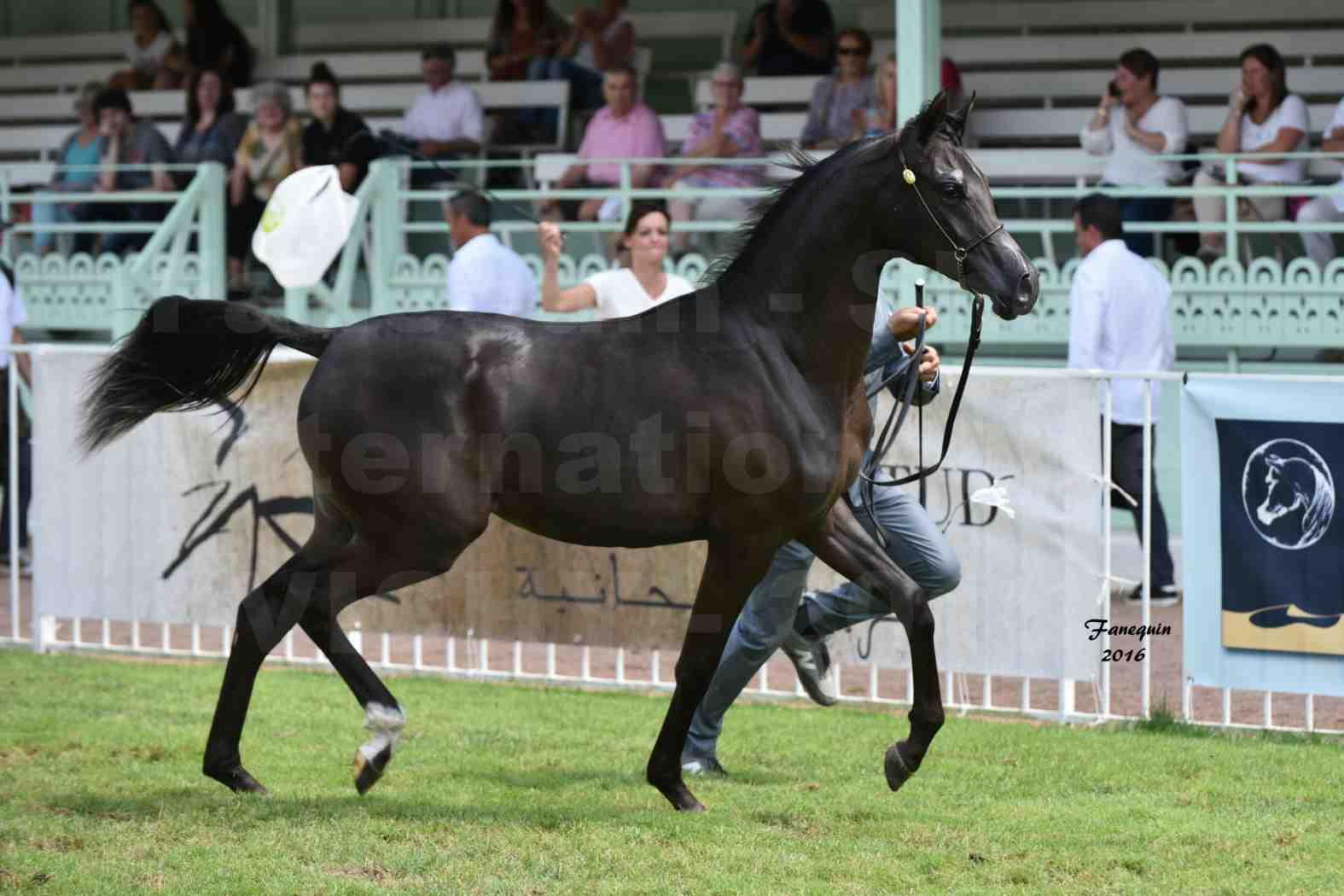 International Arabian Horse Show B de VICHY 2016 - ANNALISA ALIH - Notre Sélection - 6