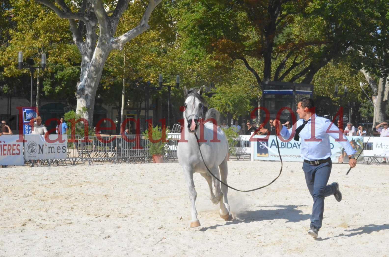 Concours National de Nîmes de chevaux ARABES 2014 - Championnat - SHAOLIN DE NEDJAIA - 28