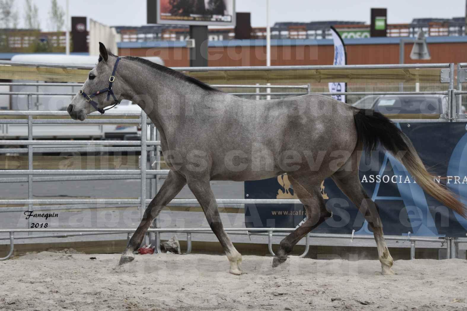 Concours d'élevage de Chevaux Arabes - D. S. A. - A. A. - ALBI les 6 & 7 Avril 2018 - FESIHAMKA ARTAGNAN - Notre Sélection - 5
