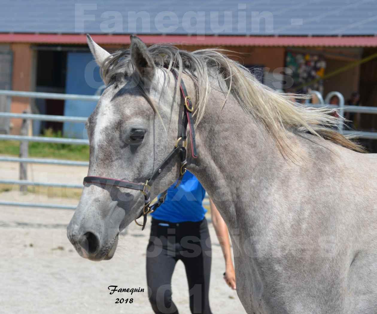 Concours d'Elevage de chevaux Arabes  le 27 juin 2018 à la BOISSIERE - GAZAK D'AURIERES - 2