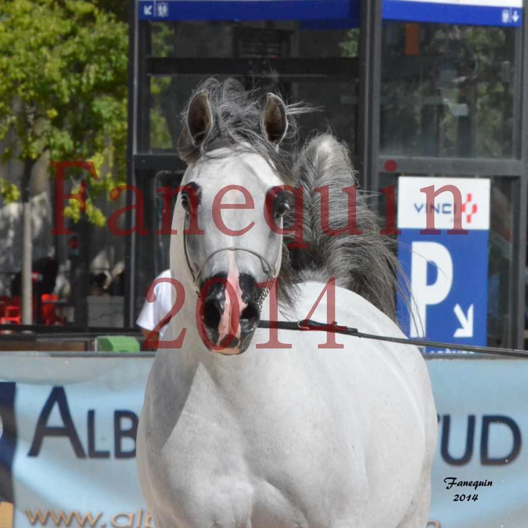 Concours National de Nîmes de chevaux ARABES 2014 - Notre Sélection - Portraits - SHAOLIN DE NEDJAIA - 06