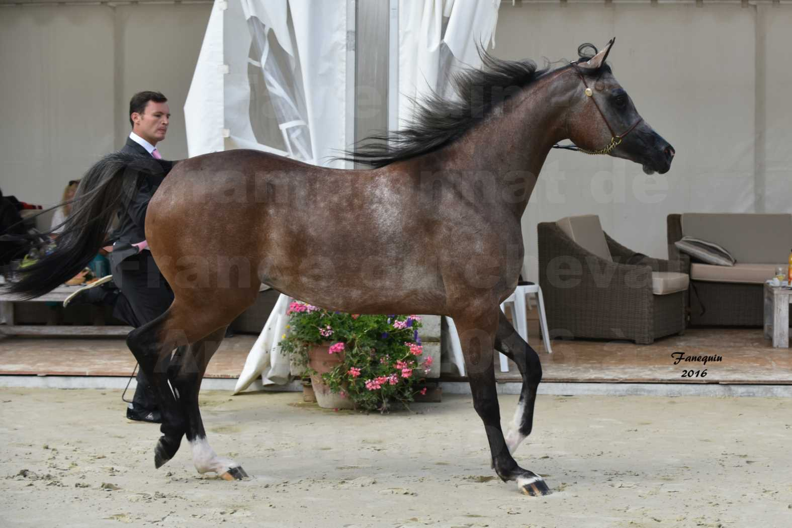 Championnat de France de chevaux Arabes 2016 à Pompadour - AÏNHOA MA PTIT FOLIE - 07