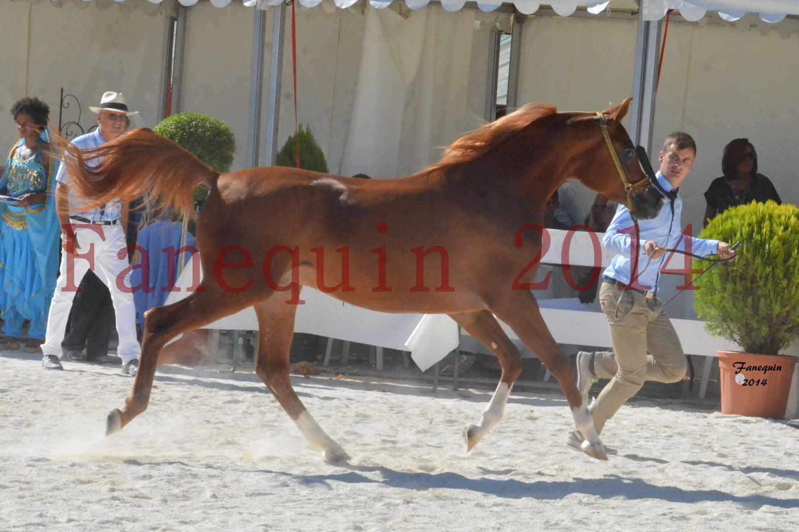 Concours National de Nîmes de chevaux ARABES 2014 - Notre Sélection - DZHARI NUNKI - 11