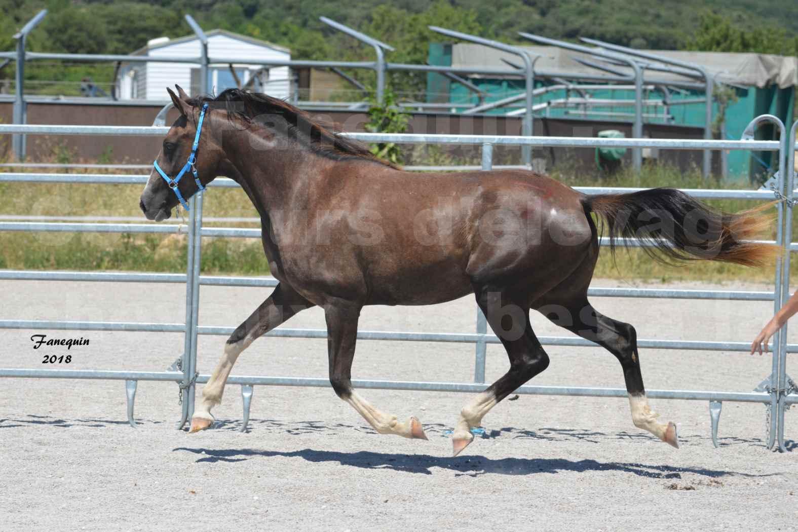 Concours d'Elevage de chevaux Arabes  le 27 juin 2018 à la BOISSIERE - GALICIA D'ALAUZE - 09