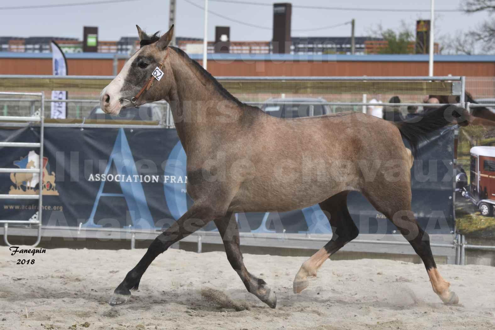 Concours d'élevage de Chevaux Arabes - D. S. A. - A. A. - ALBI les 6 & 7 Avril 2018 - FLORIA DU PUECH - Notre Sélection 07