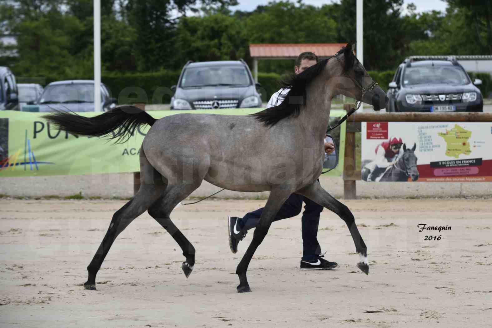 Show national de chevaux arabe de CHAZEY sur AIN - FALOUKA - 8