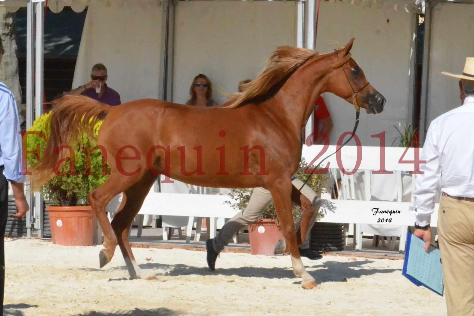 Concours National de Nîmes de chevaux ARABES 2014 - Notre Sélection - MASSAI DE BARREL - 07