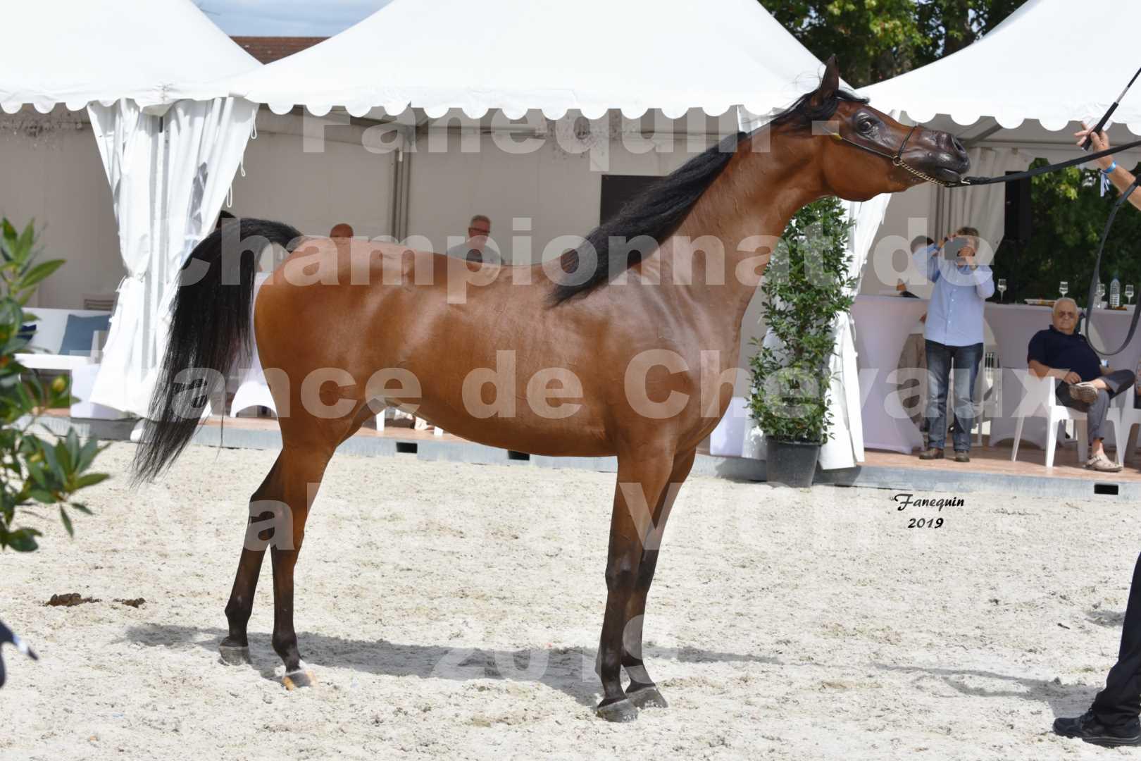 Championnat de France des chevaux Arabes en 2019 à VICHY - MADONNA J - 4