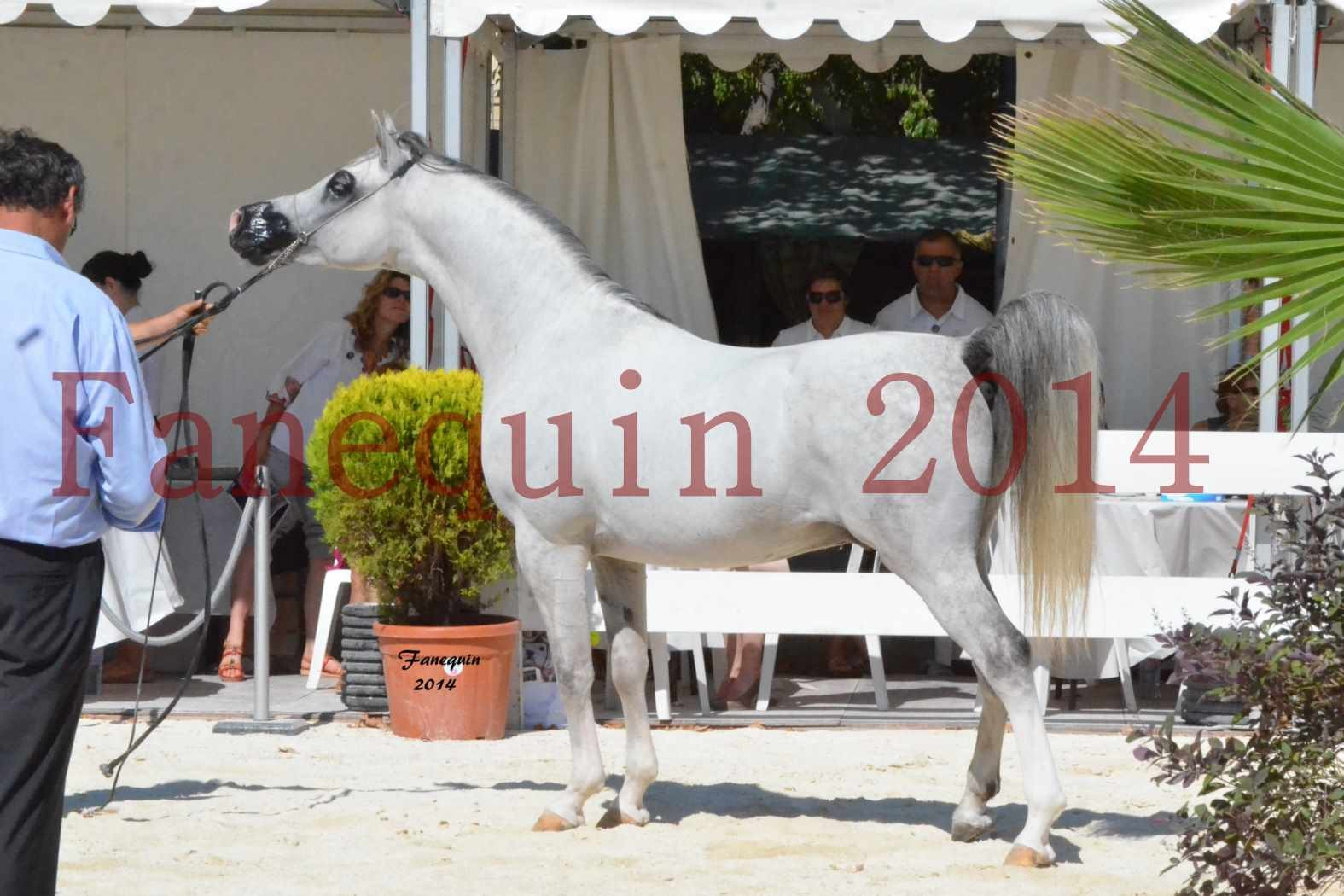 Concours National de Nîmes de chevaux ARABES 2014 - Notre Sélection - SHAOLIN DE NEDJAIA - 21