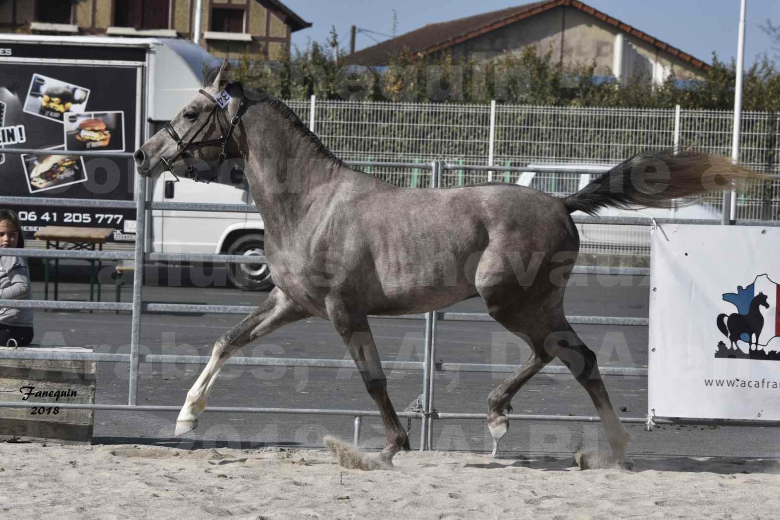 Concours d'élevage de Chevaux Arabes - D. S. A. - A. A. - ALBI les 6 & 7 Avril 2018 - GRIMM DE DARRA - Notre Sélection - 8