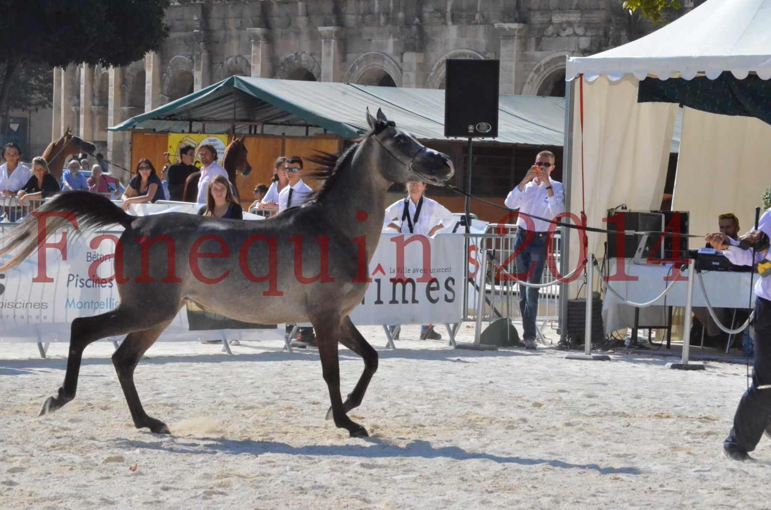 Concours National de Nîmes de chevaux ARABES 2014 - Championnat - JOSEPH'S BOUZIOLS - C 02