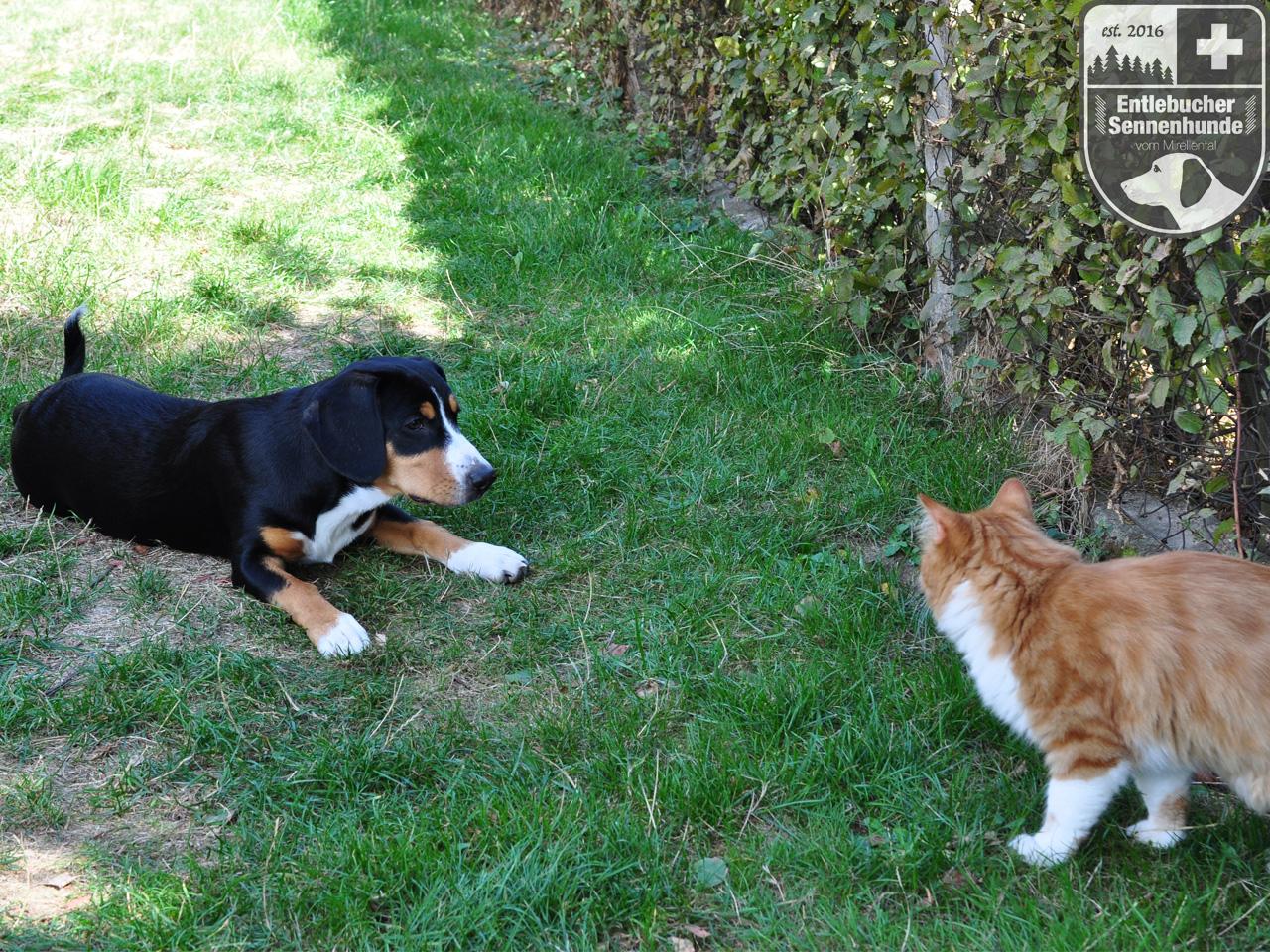 Entlebucher Sennenhunde vom Mirellental - Ida vom Thurnerkamp mit ca 14 Wochen